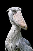 Shoebill (Balaeniceps rex)