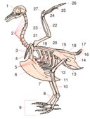 A stylised bird skeleton 1. Skull, 2. Cervical vertebrae, 3. Furcula, 4. Coracoid, 5. Uncinate process, 6. Keel, 7. Patella, 8. Tarsometatarsus, 9. Digits, 10. Tibiotarsus (10 and 11), 11. Tibiotarsus (10 and 11), 12. Femur, 13. Pubis (innominate bone), 14. Ischium (innominate bone), 15. Illium (innominate bone), 16. Caudal vertebrae, 17. Pygostyle, 18. Synsacrum, 19. Scapula, 20. Lumbar vertebrae, 21. Humerus, 22. Ulna, 23. Radius, 24. Carpus, 25. Metacarpus, 26. Digits, 27. Alula.