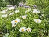 Paeonia lactiflora 'Krinkled White' , Allium aflatunense