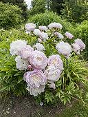 Paeonia lactiflora 'Mrs. Franklin D. Roosevelt' Obtenteur : Franklin 1932