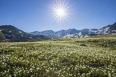 Vallée de la Clarée, Kuepfer's Buttercup (Ranunculus kuepferi) bed, Névache, Hautes-Alpes, France