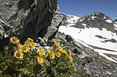 Creeping Avens flowers (Geum reptans) at Col des Muandes (2828m), Clarée Valley, Névache, Hautes-Alpes, France