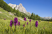 Dactylorhiza alpestris, in the background the massif of Cerces (3093m) and the points of the Main of Crépin (2942m), Valley of Clarée, Névache, Hautes-Alpes, France