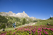 Vallée de La Clarée, a hiker on the GR country of Tour du Mont Thabor, flowering Alpen Rose, in the background the Cerces massif (3093m), Nevache, Hautes-Alpes, France