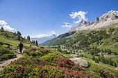 Hiker on the Long Lake Trail, flowering Alpine Rose, in the background the massif des Cerces (3093m), Clarée Valley, Névache, Hautes-Alpes, France