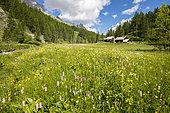 Vallée de la Clarée, European Bistort in a meadow at a place called Jadis, Névache, Hautes-Alpes, France
