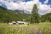 Vallée de La Clarée, meadow of Wood Cranesbill (Geranium sylvaticum) and European bistort (Polygonum bistorta) at a place called the chalets of Lacha, Névache, Hautes-Alpes, France