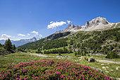 Vallée de La Clarée, flowering Alpen Rose, in the background the Cerces massif (3093m), Névache, Hautes-Alpes, France