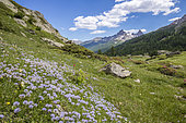 Vallée de La Clarée, flowerbed of globe daisy heart (Globularia cordifolia) with in the background the peaks of the massif of Tête Noire (2922m), Nevache, Hautes-Alpes, France