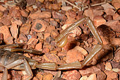 Inland robust scorpion (Urodacus yaschenkoi), Kings Canyon, NT, Australia