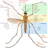 Diagram showing the anatomy of a mosquito (Culex pipiens).