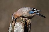 Eurasian Jay (Garrulus glandarius) with nut, Northern Vosges Regional Nature Park, France