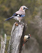 Eurasian Jay (Garrulus glandarius) with nut and Middle Spotted Woodpecker (Dendrocopos medius), Northern Vosges Regional Nature Park, France