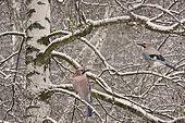 Eurasian Jay (Garrulus glandarius) pair in a snow-covered birch, Northern Vosges Regional Nature Park, France