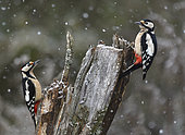 Great Spotted Woodpecker (Dendrocopos major), pair on a stump, Northern Vosges Regional Nature Park, France