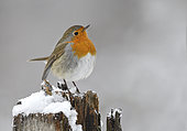 European Robin (Erithacus rubecula) on a stump in winter, Northern Vosges Regional Nature Park, France