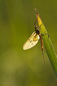 Mayfly (Ephemeroptera) on leaf, Erstein, Rhenish band, Alsace, France