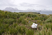 Wandering Albatross (Diomedea exulans) hatching on Prion Island in South Georgia.