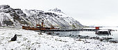 Antarctic fur seal ((Arctocephalus gazella) posing in front of the old Grytviken whaling station in South Georgia