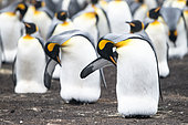 King Penguin (Aptenodytes patagonica) incubating their only egg and preening in a colony of South Georgia