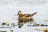 Red Phalarope (Phalaropus fulicarius), one of the rare bird species in which the male (as here) is less brightly colored than the female. Svalbard