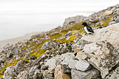 Little Auk (Alle alle) in the middle of its hidden colony in the heart of the scree, Spitsbergen