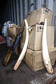Pacific walrus tusks (Odobenus rosmarus divergens) collected by indigenous Chukchi hunters, Russia