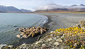 Pacific Walrus (Odobenus rosmarus divergens), Colony on a beach in the Russian Arctic.