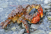 Royal crab on an Arctic beach, Morzhovaya Bay, Kamchatka, Russia