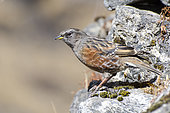 Alpine accentor (Prunella collaris) on rock, Himalaya, Nepal