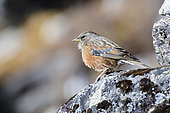 Alpine accentor (Prunella collaris) on rocks, Himalaya, Nepal