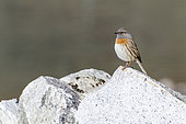 Robin accentor (Prunella rubeculoides) at the edge of a lake in the Himalayas, Nepal