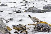 Tibetan snowcock (Tetraogallus tibetanus) on a frozen stream in high Himalayan mountain, Nepal