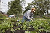 Volunteers work at the Earthworks Urban Farm, which grows fresh produce for the Capuchin Soup Kitchen, Detroit, Michigan, USA, North America