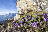 Primrose (Primula hirsuta) on the Allos Lake Towers (2185 m), Haut-Verdon, Mercantour National Park, Alps, France