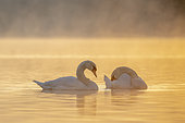 Mute Swan (Cygnus olor) on water at dusk, Plobsheim, Alsace, France