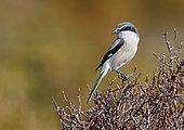 Woodchat Shrike (Lanius meridionalis) on a branch, Salamanca, Castilla y Leon, Spain
