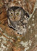 Eurasian Scops Owl (Otus scops) portrait, Salamanca, Castilla y León, Spain