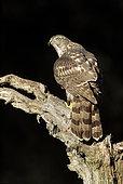 Northern Goshawk (Accipiter gentilis) on a branch at night, Salamanca, Castilla y León, Spain