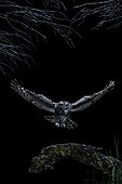 Tawny Owl (Strix aluco) hunting in flight at night, Salamanca, Castilla y León, Spain