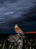 Lesser kestrel (Falco naumanni) at night, Spain