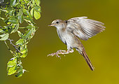 Common Nightingale (Luscinia megarhynchos) in lfight, Spain