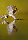 Common Nightingale (Luscinia megarhynchos) drinking, Spain