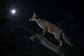 Red fox (Vulpes vulpes) under the moon, Spain