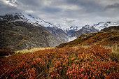 Shrubs of Blueberry (Vaccinium vitis idaea) and Whortleberry (Vaccinium myrtillus), the Gioberney valley in the background, the Chapelle-en-Valgaudemar, Ecrins National Park, Hautes-Alpes, France