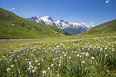 Flowerbed of Rimmed lichen (Asphodelus Albus), valley of the hamlet of Valfroide in the massif of Oisans with La Meije in the background, Ecrins National Park, Hautes-Alpes, France