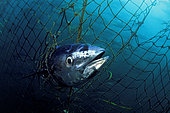 A dead Southern bluefin tuna, Thunnus maccoyii, caught in a tuna pen. All southern bluefin tuna ranching occurs in a small region offshore of Port Lincoln, South Australia. This industry was initiated in 1991 and has now developed to be the largest farmed seafood sector in Australia.