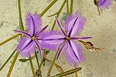 Thysanotus chinensis)), Nambung National Park, WA, Australia