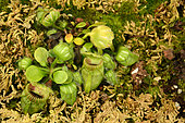 Albany pitcher plant (Cephalotus follicularis) Australia's Microendemic, Sydney Botanical Garden, NSW, Australia