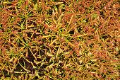 Pygmy sundew (Drosera roseana) endemic WA, Sydney botanic garden, NGS, Australie